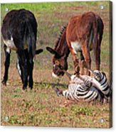 Lmao  Mules And Zebra - Featured In Wildlife Group Acrylic Print