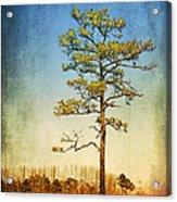 Loblolly Pine Along The Chesapeake Acrylic Print