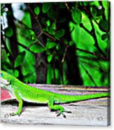 Local Lizard Acrylic Print by Stephanie Grooms
