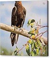 Lofty Visions - Wedge-tailed Eagle Acrylic Print