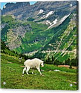 Logan Pass Mountain Goat Acrylic Print