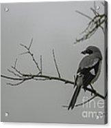 Loggerhead Shrike In Fog Acrylic Print by Cindy Bryant