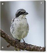 Loggerhead Shrike Acrylic Print