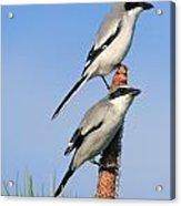 Loggerhead Shrike Pair Acrylic Print