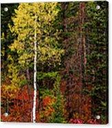 Lone Aspen In Fall Acrylic Print