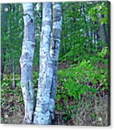 Lone Birch in the Maine Woods Acrylic Print