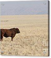 Lone Bull In Grassy Field Acrylic Print