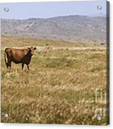 Lone Cow In Grassy Field Acrylic Print