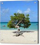 Lone Divi Tree In Aruba Acrylic Print