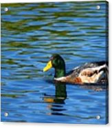 Lone Duck Acrylic Print