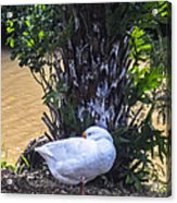 Lone Duck Acrylic Print by Lisa Cortez