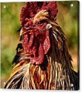 Lone Farm Rooster Portrait Acrylic Print