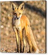 Lone Fox Acrylic Print