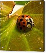 Lone Lady Bird Beetle Acrylic Print