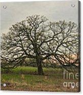 Lone Oak - Spring Acrylic Print