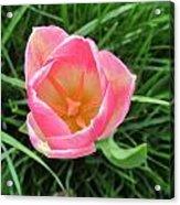 Lone Pink Tulip Acrylic Print