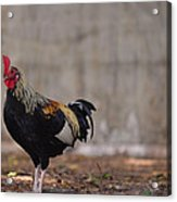 Lone Rooster Acrylic Print