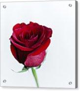 Lone Rose Acrylic Print