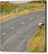 Lone Sheep Acrylic Print