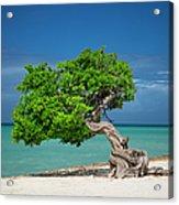 Lone Tree - Aruba Acrylic Print