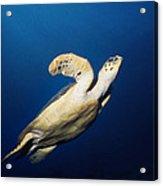 Lone Turtle Acrylic Print