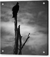 Lone Vulture Acrylic Print