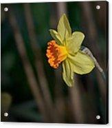 Lonely Daffodil Acrylic Print