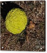 Lonely Hedge Apple Acrylic Print