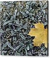 Lonely Maple Leaf And Grass Are Covered With Frost. Acrylic Print