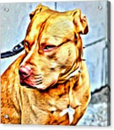 Lonely Pit Bull Acrylic Print