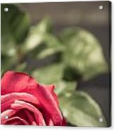 Lonely Rose 4  Acrylic Print