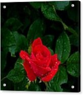Lonely Rose Acrylic Print