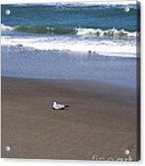 Lonely Sea Gull Acrylic Print