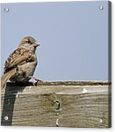 Lonely Sparrow Acrylic Print