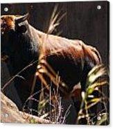 Lonesome Bull Acrylic Print