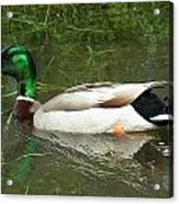 Lonesome Duck Acrylic Print