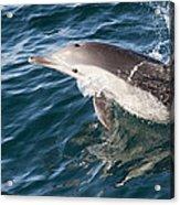 Long-beaked Common Dolphin Porpoising Acrylic Print