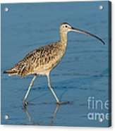 Long-billed Curlew Acrylic Print