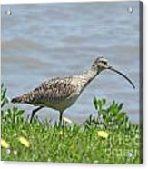 Long Billed Curlew At Palacios Bay Tx Acrylic Print