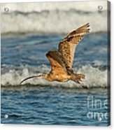Long-billed Curlew Flying Over The Surf Acrylic Print