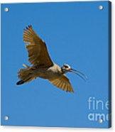 Long-billed Curlew In Flight Acrylic Print