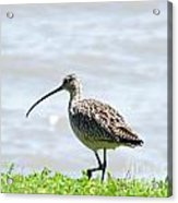 Long Billed Curlew  Acrylic Print