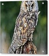 Long-eared Owl 4 Acrylic Print
