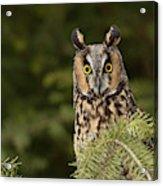Long-eared Owl, Asio Otus (captive Acrylic Print