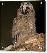 Long-eared Owl Asio Otus Acrylic Print