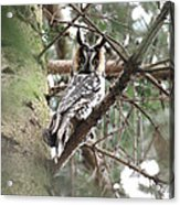 Long Eared Owl At Attention Acrylic Print