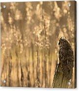 Long-eared Owl Acrylic Print