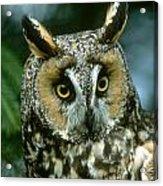 Long-eared Owl Up Close Acrylic Print