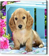Long Eared Puppy In Front Of Blue Box Acrylic Print