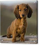 Long-haired Dachshund Puppy Acrylic Print